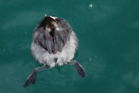 I think it's an eared grebe, sleeping.