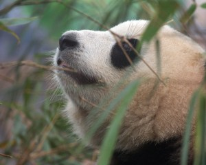 The Panda's Forest: Biodiversity Loss