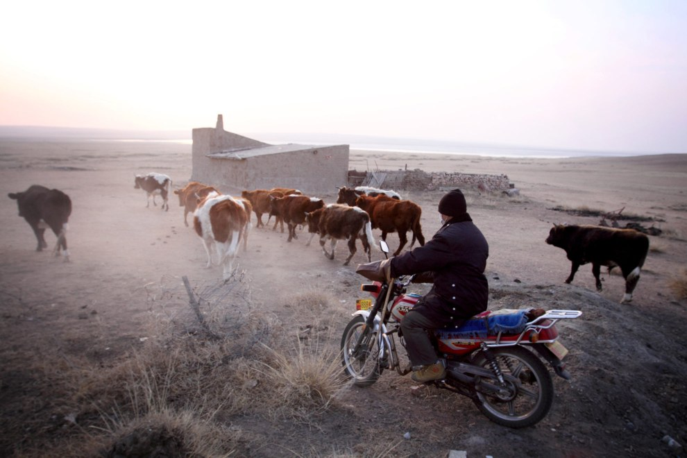 A farmer brings in his cattle at sunrise on the Inner Mongolian steppes. Due to new regulations, the farmers of the region are now not allowed to graze their cattle, although many risk prosecution and graze their cattle at night, under the cover of darkness.