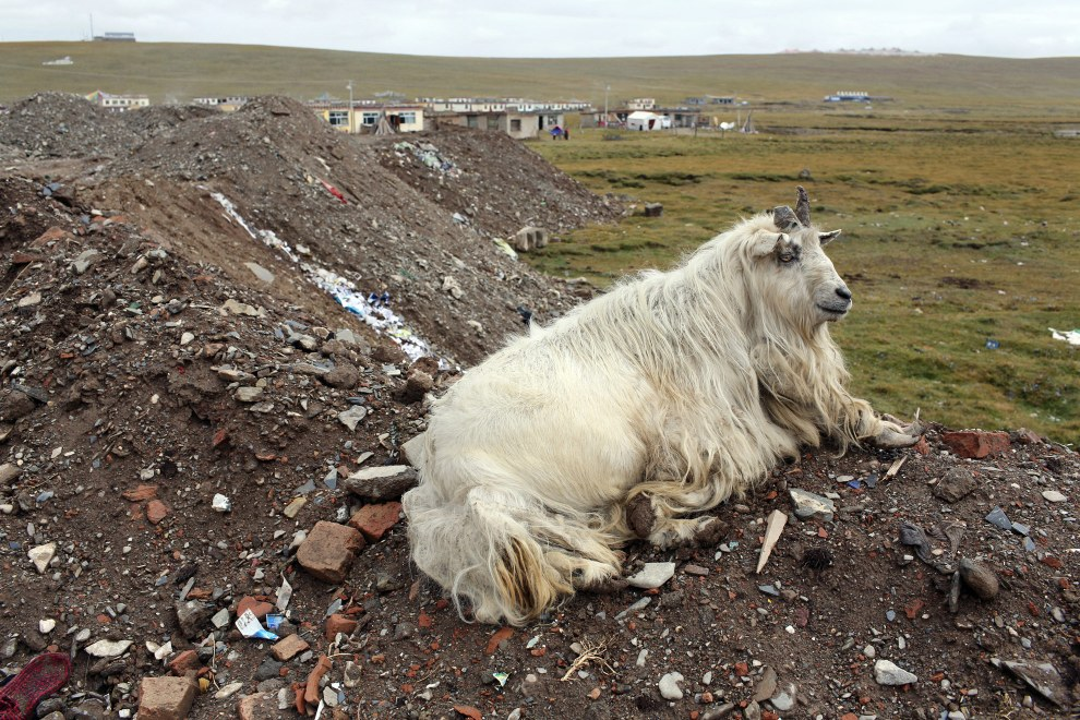 A gnarled sheep looks out onto a degraded grassland at the edge of the town of Donda, in Qinghai Province on the Tibetan Plateau. Development in rural areas has had detrimental effects on many local ecosystems as pollution connected with development contaminates local land.