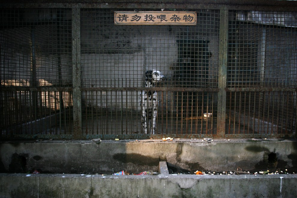 A dalmation, species of dog, in an enclosure in Wuhan zoo.