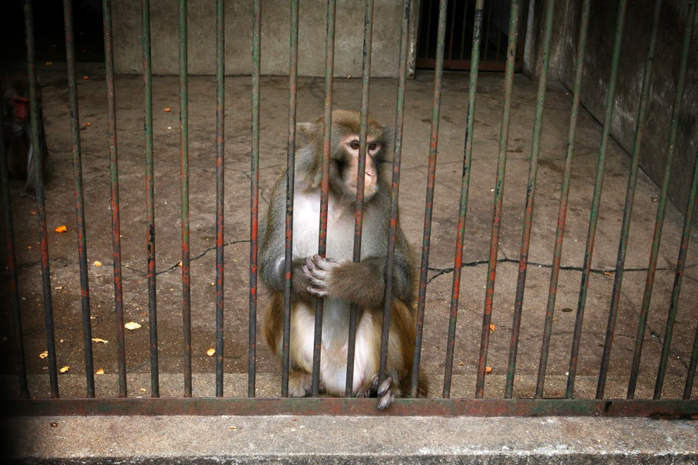 A monkey in an enclosure in Wuhan zoo.
