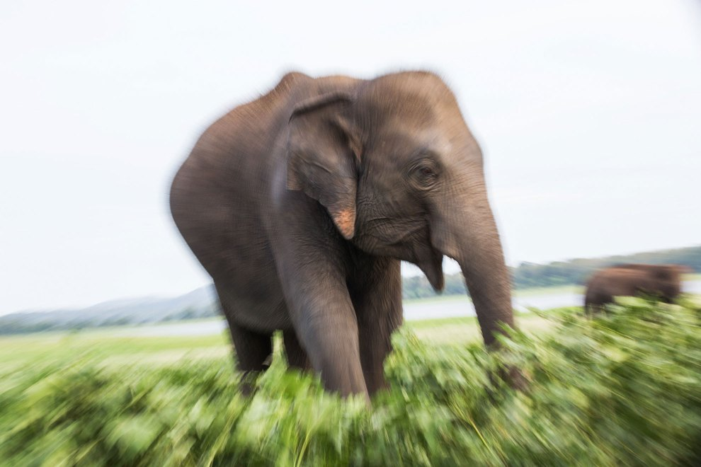 "An adult elephant roams the Minneriya National Park, in central Sri Lanka. The park is famed for the large migration of elephants who descend on its large central reservoir (named 'a tank') each year during the dry season. ""The Gathering"" at Minneriya's tank is reputed to be on of Asia's great natural sights and one of the best places to see the country's wild populations."