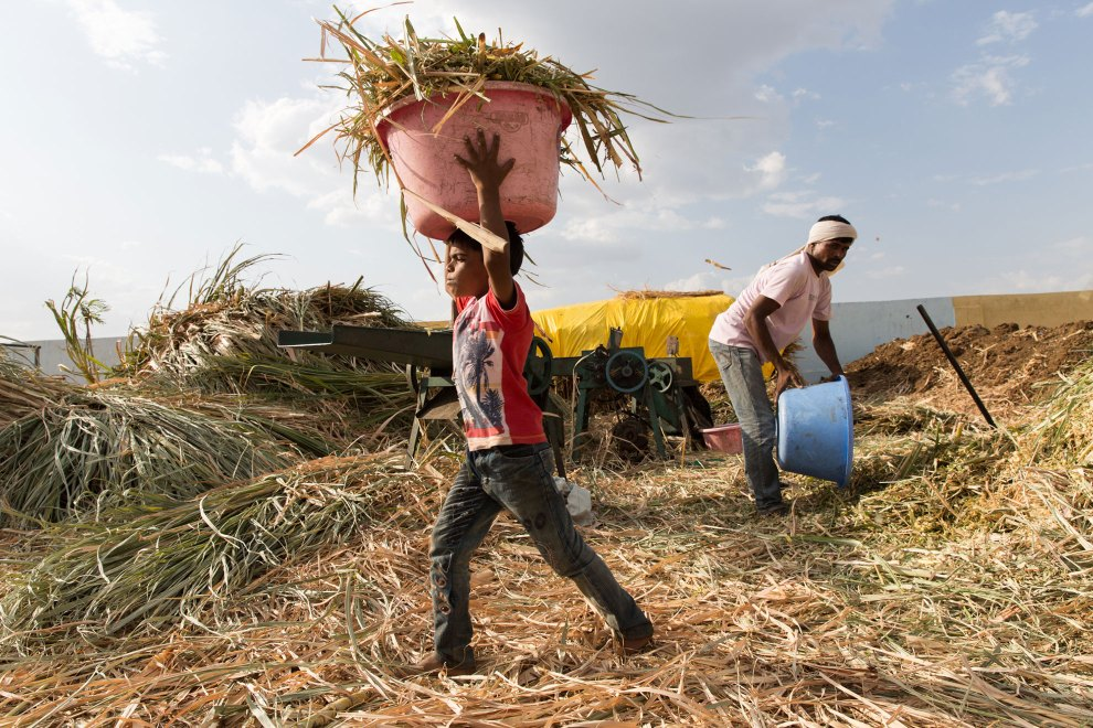 A young boy carries a bucket full of cut sugar cane in a cattle camp near the town of Latur. Sugar cane has been blamed by many for being one of the factors contributing to drought conditions in the region as it requires high amounts of water during its growth. Failed rains have left farmers unable to grow this profitable crop, leaving many in financial trouble.
