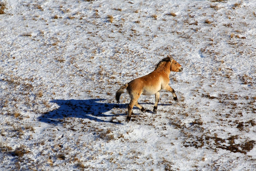 A Przewalski Horse in the Hustai National Park, in central Mongolia.