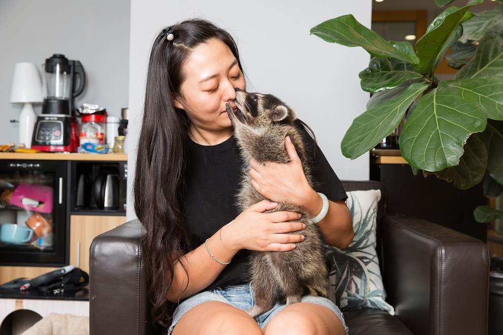 Lu Tingting, 32, owns and runs a pet store in central Beijing where she keeps her 3 month old pet raccoon (Procyon lotor), an animal that is native to North America. Having started her shop with friends, she caters to a growing number of young Chinese who look for pet grooming services for their traditional and non-traditional pets.