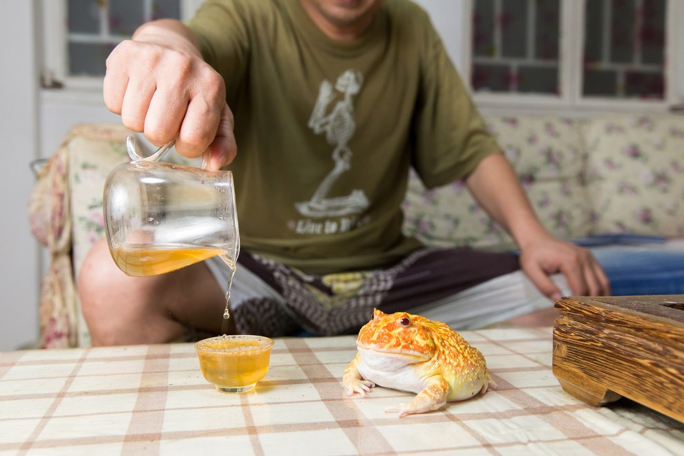 Liu Feng, 53, pours tea next to one of his son's pet Cranwell Horned Frogs (Ceratophrys cranwelli). Native to the South American countries of Brazil, Argentina, Bolivia and Paraguay the frog is a popular species amongst collectors due to its resemblance to the computer game character Pac Man. It's one of 30 different frogs that he and his son keep in their small apartment in central Beijing.