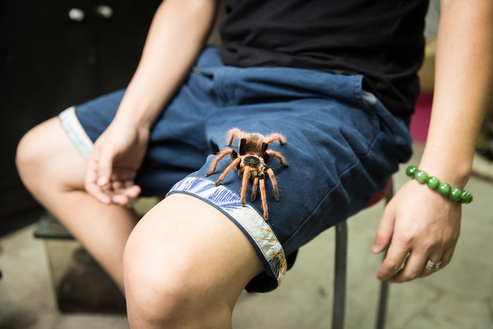 Zhang Bo, 36, sits with a Mexican blood tarantula (Aphonopelma chalcodes) in the Guanyuan pet market in Beijing. The species is typically found in the deserts of Arizona in the United States and parts of Mexico. Zhang began collecting spiders in 2007 and then started selling them in 2014 through his shop in Beijing. He collects spiders during trips to South and Central America, selling them in his shop to a growing number of arachnid collectors.