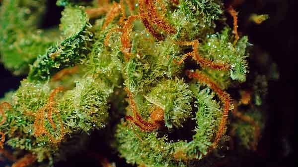 identity-marijuana-600