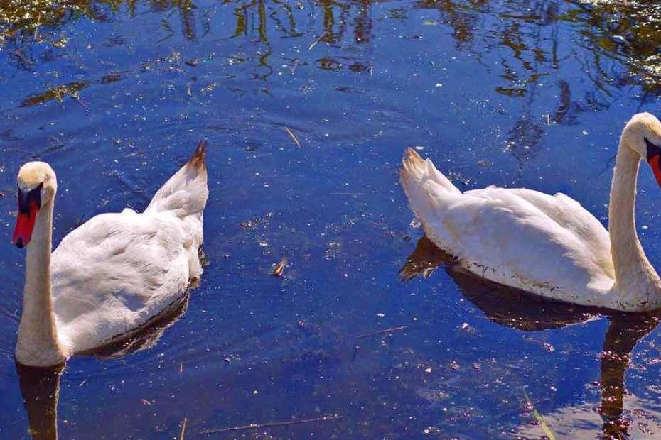 restraining-order-swans-1200