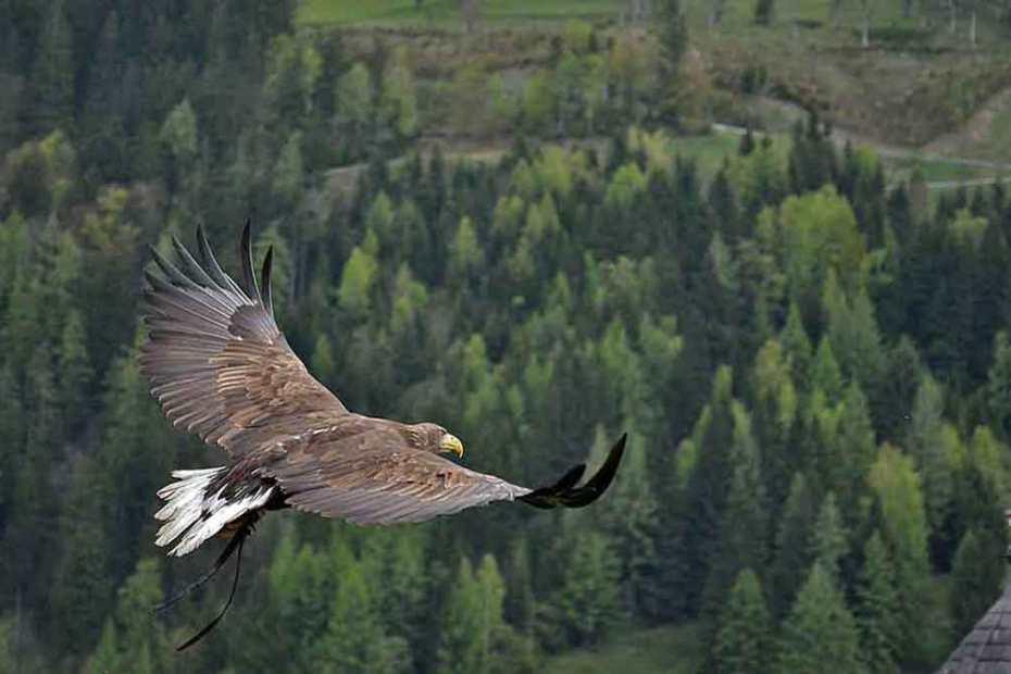 golden-eagle-a-1200