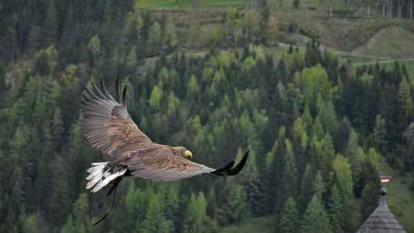 golden-eagle-a-600