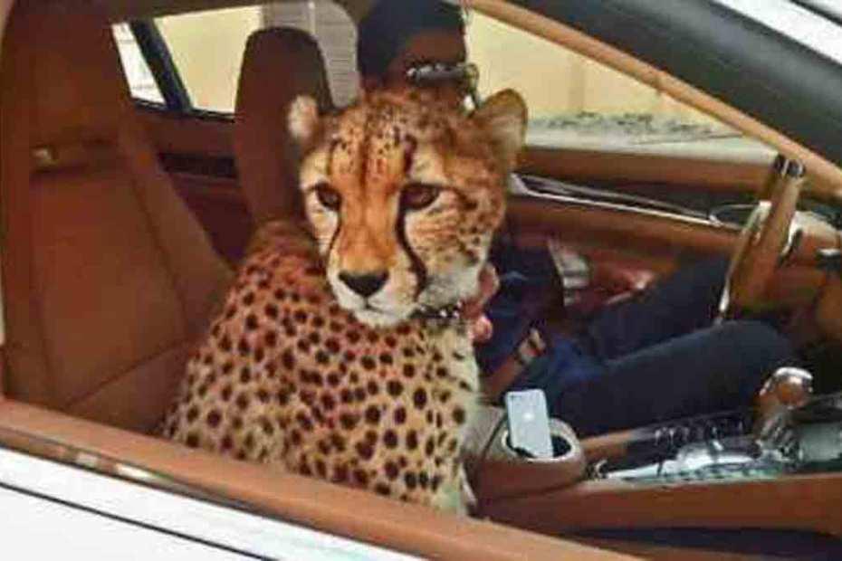 car-leopard-1200