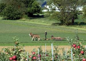 Mule power is used to cut alfalfa field in a Bird-In-Hand area farm field.