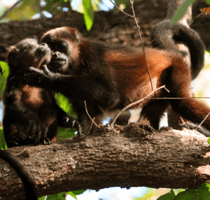 Baby spider monkey and mother, Ometepe Isalnd.