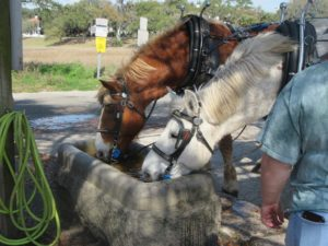 Beaufort carriage horses.