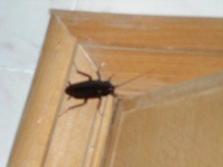 cucaracha1.jpg