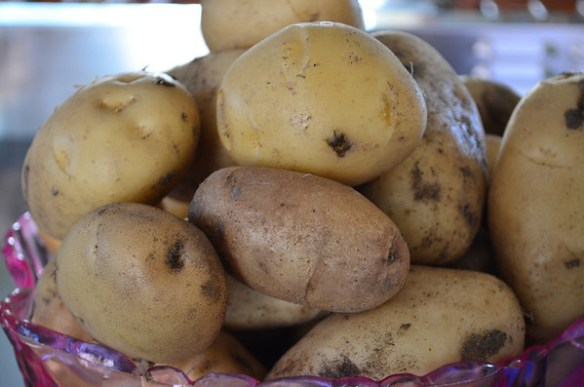 Our first potato harvest
