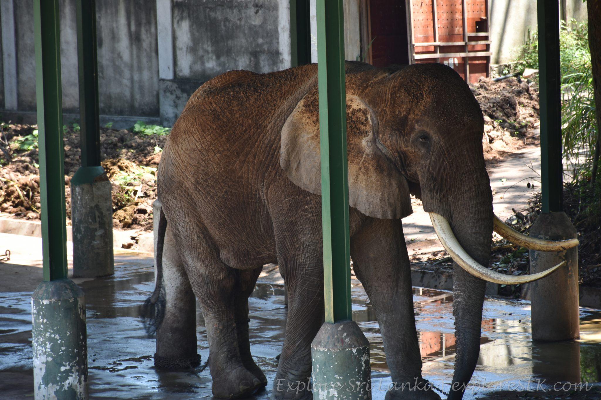 An african elephant at Dehiwala Zoo