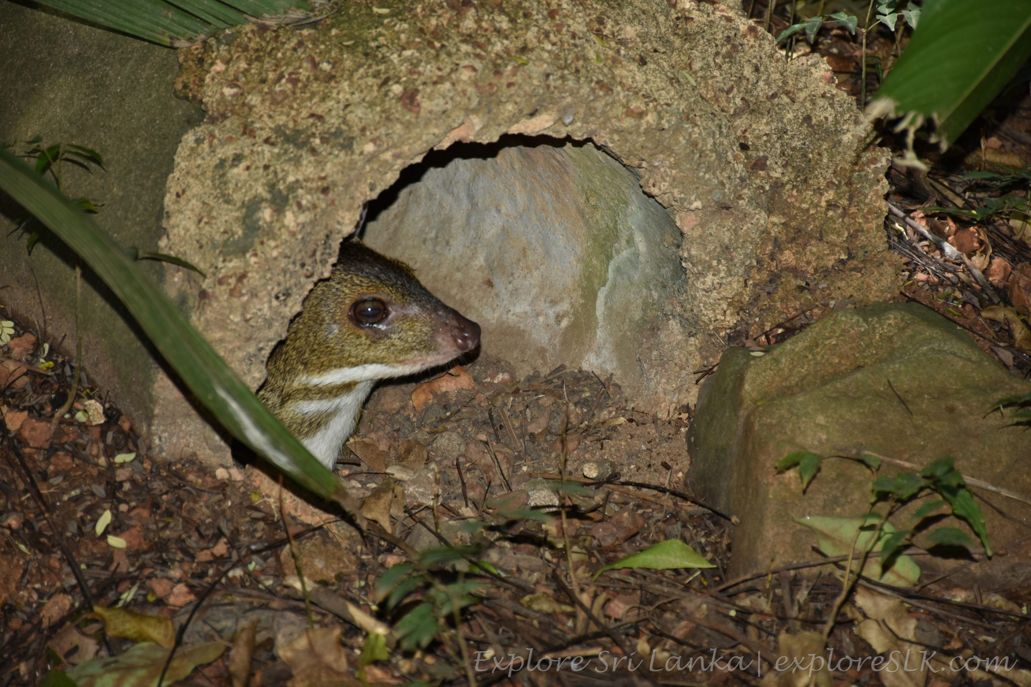 Chevrotain (Mouse-Deer)