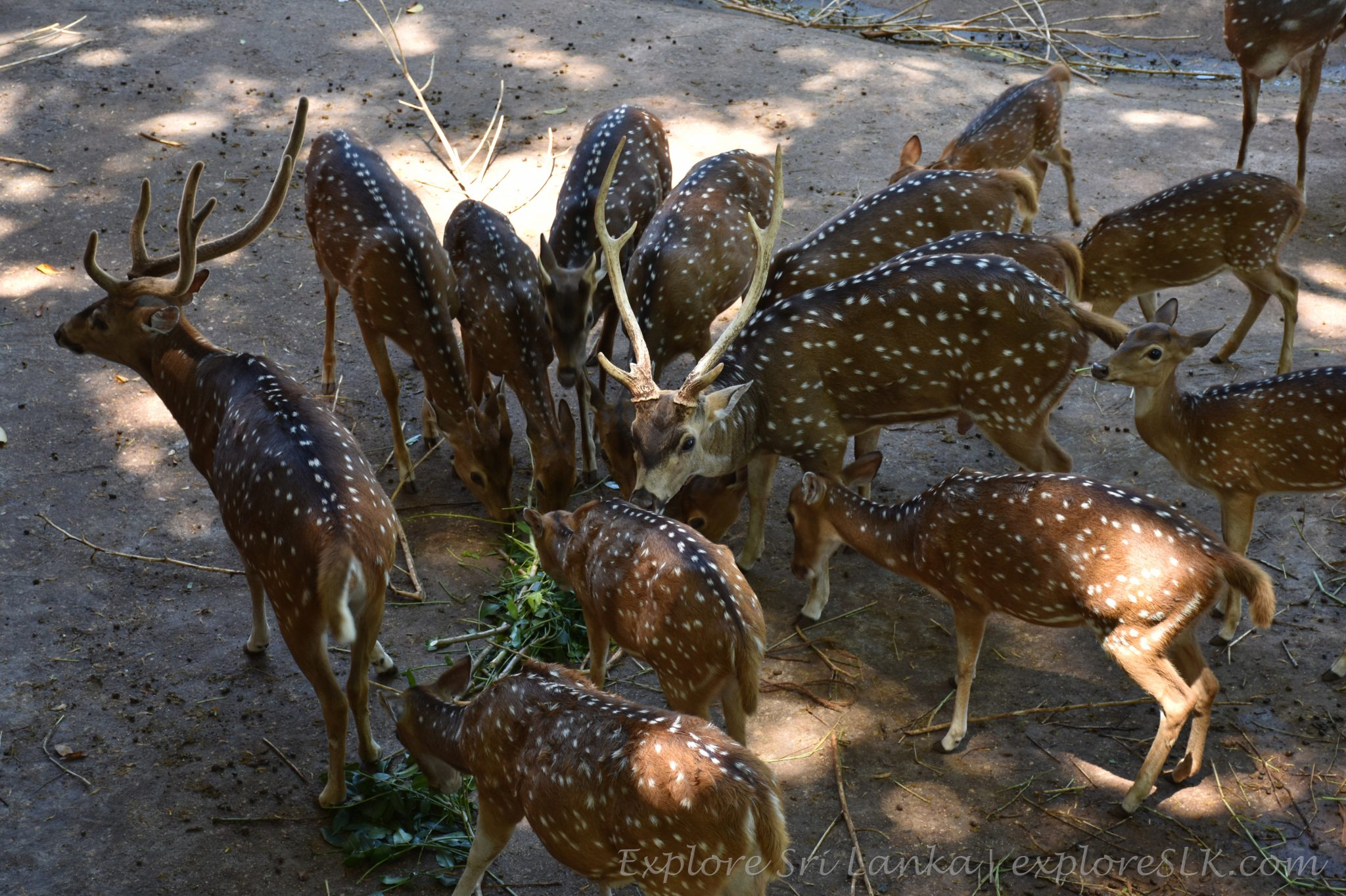 Deers having lunch at Dehiwala Zoo