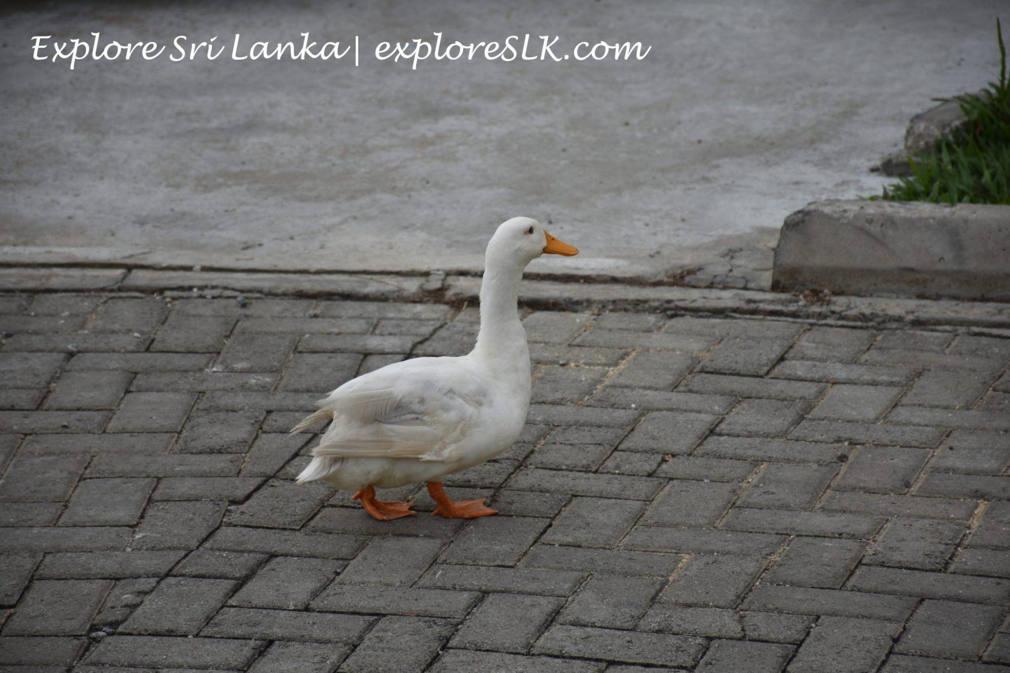 Goose at Diyatha Uyana