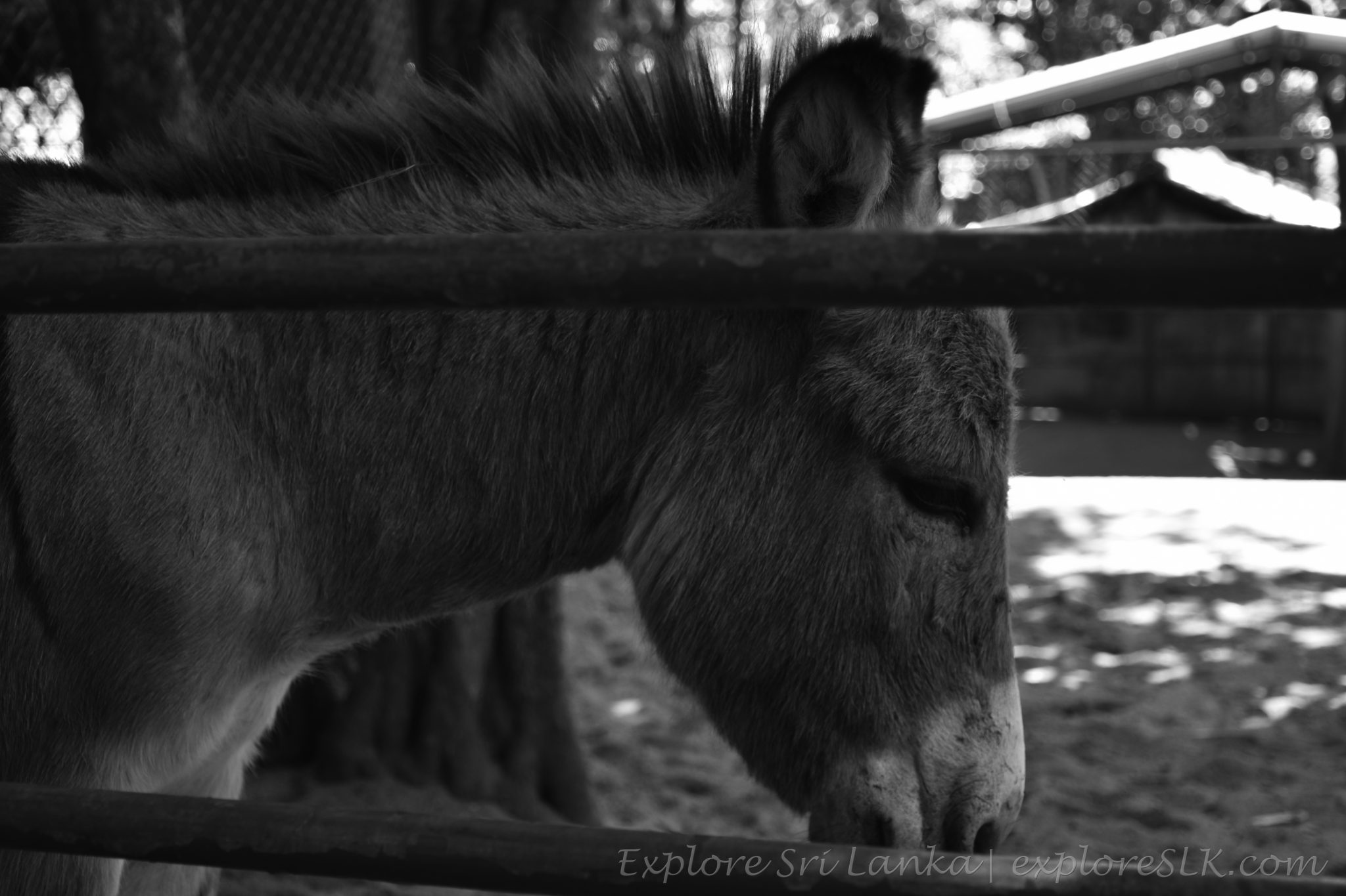 Sad Mule at Dehiwala Zoo