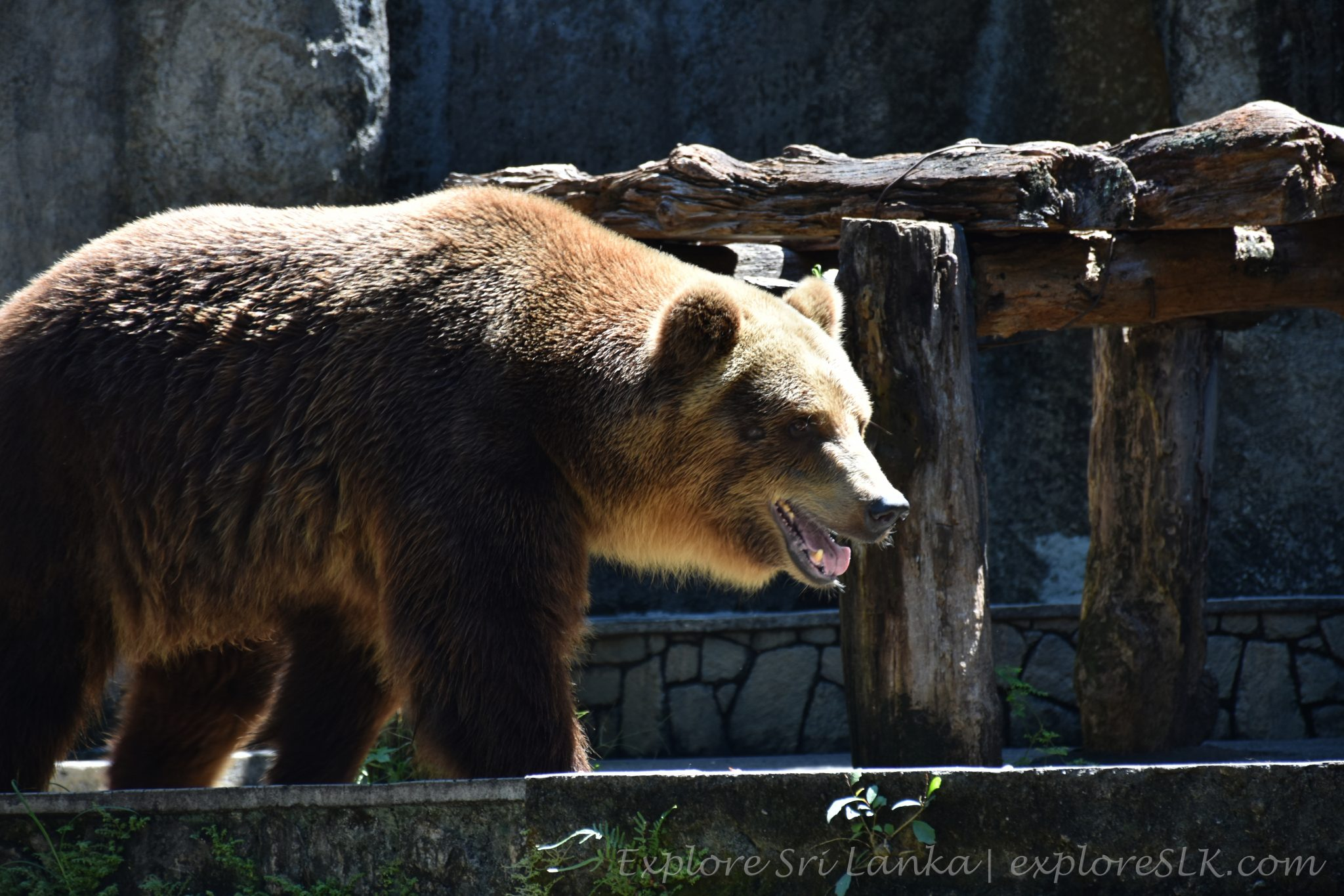 running bear at Dehiwala Zoo