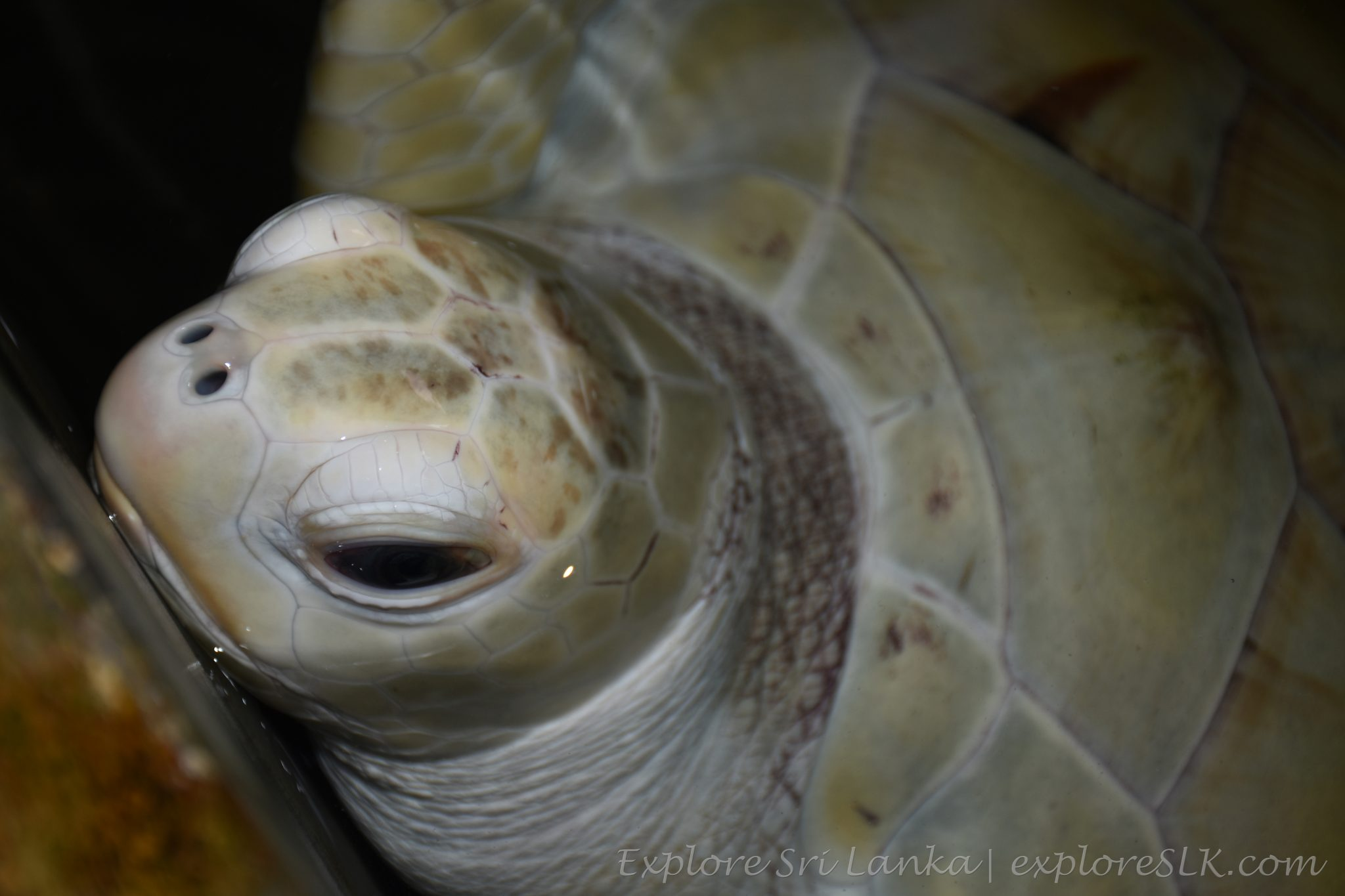 albino sea turtle