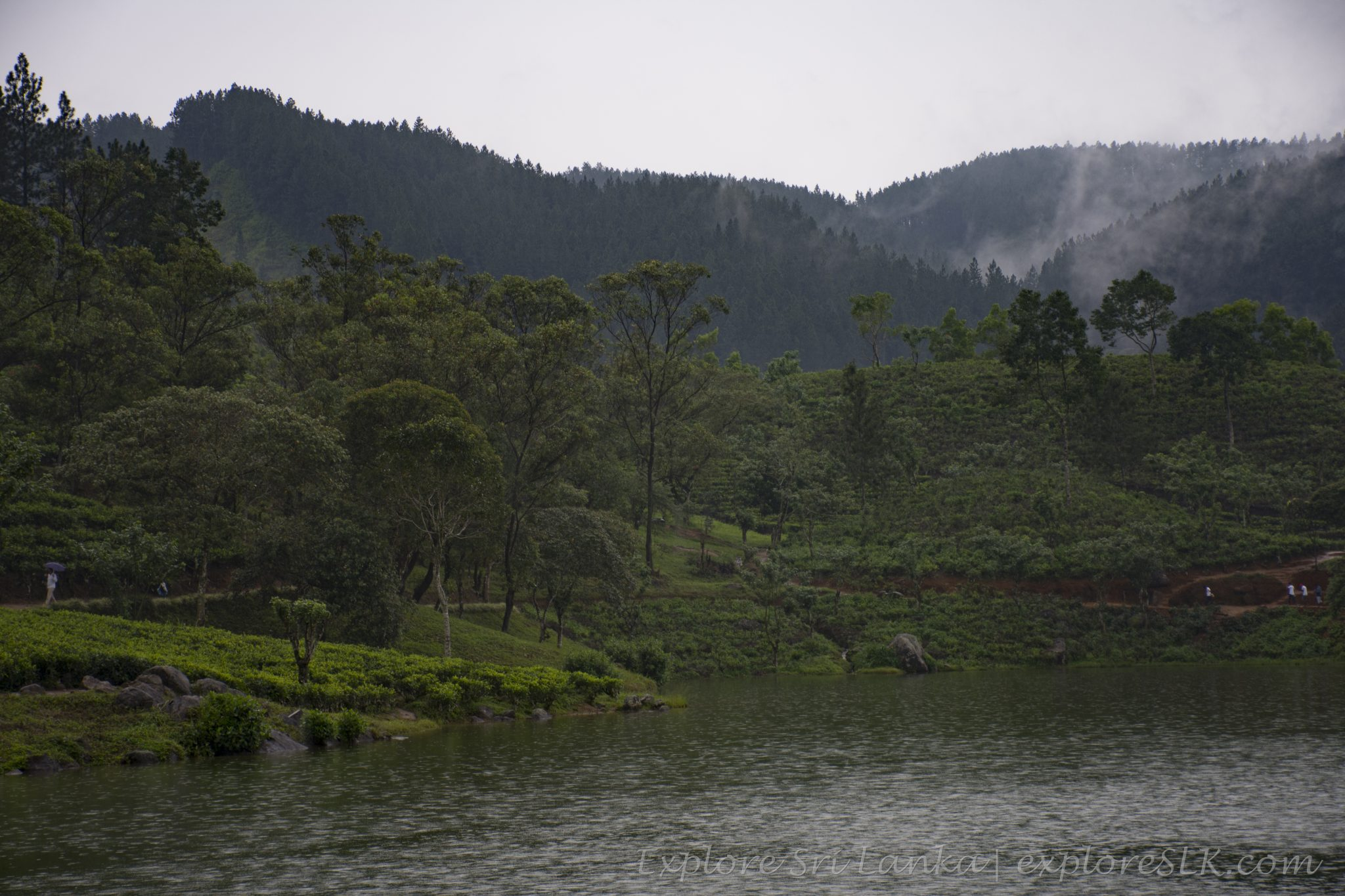 Tea plantations at lake