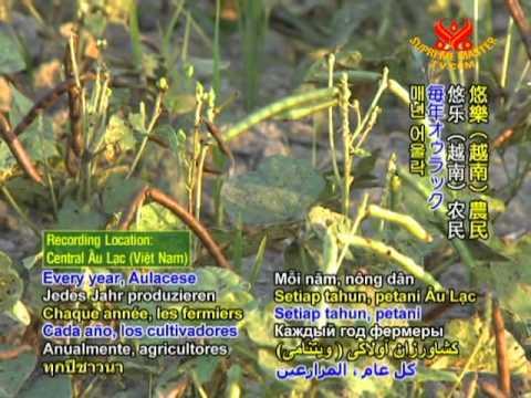 Dry Farming Video Vietnam - Beans, Peanuts, Sesame Restore Soil!