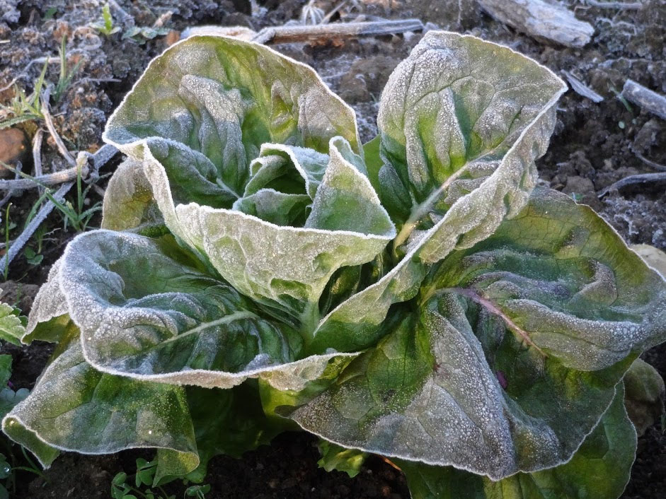 Frosty Lettuce Winter Solstice 2012 - Pilgrim Terrace Community Garden