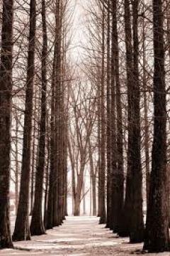 a path through tall trees