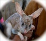 Happy Easter from the Easter bilby