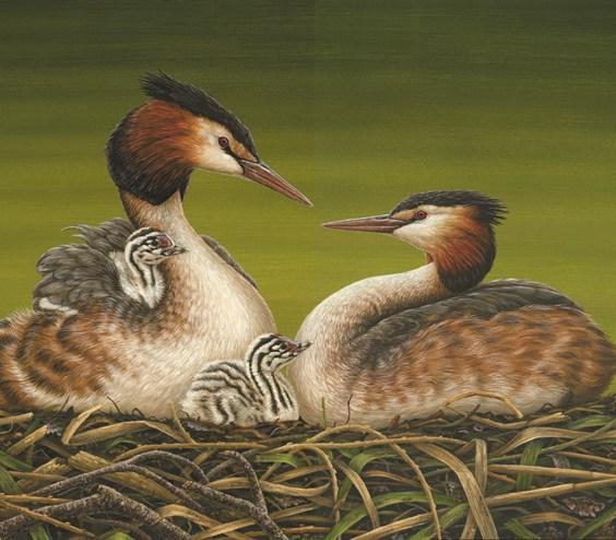 original wildlife paintings grebes
