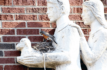 Statues are popular and picturesque spots for some urban birds to nest, like this American Robin.