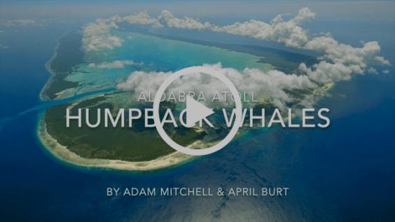 Aldabra Humpback Whales