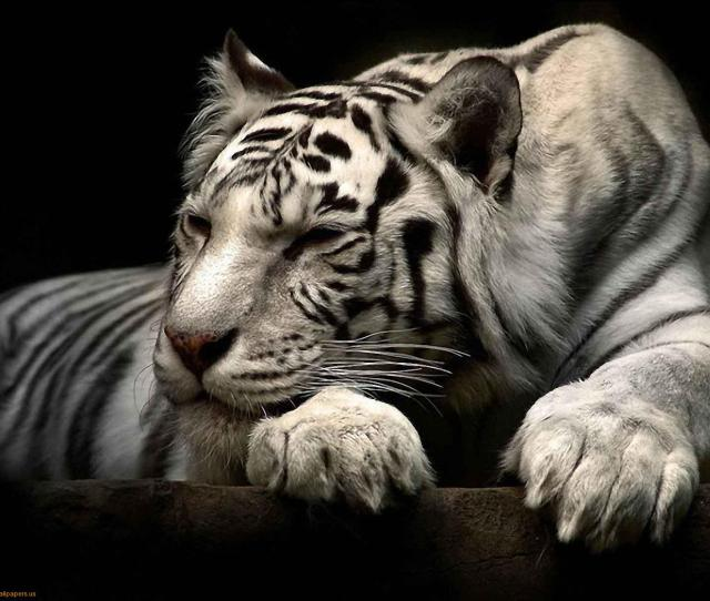 This Jpeg Image White Tiger Wallpaper Is Available For Free Download  C2 B7 View Full Size