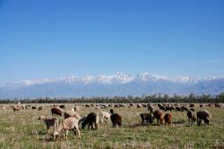 There's no shortage of sheep in Kazakhstan