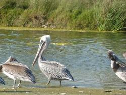 pelicansatsantabarbara.jpg