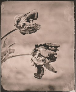 """Ara"" © Sarah Lycksten. Approx. 4x5"" handcrafted alternative process photograph (silver emulsion lith print from glass wet plate negative on Foma paper). Signed original print offered by GALLERY5X7 at $250."