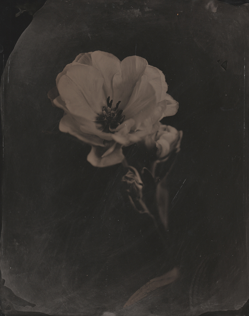 """""""Rose"""" © Sarah Lycksten. Approx. 8x10"""" handcrafted alternative process photograph (wet plate collodian). Signed original print offered by GALLERY5X7 at $250."""