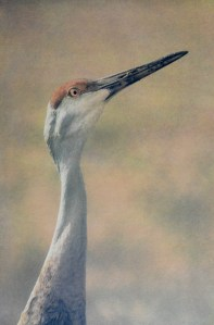 """""""Sandhill Crane"""" © Andy Kraushaar. Approx. 8x12"""" (20.3x30.5cm) handcrafted alternative process photograph (tri-color gum bichromate over cyanotype) printed on Hahnemuhle Platinum Rag. GALLERY5X7 offers this signed, original print at $500."""