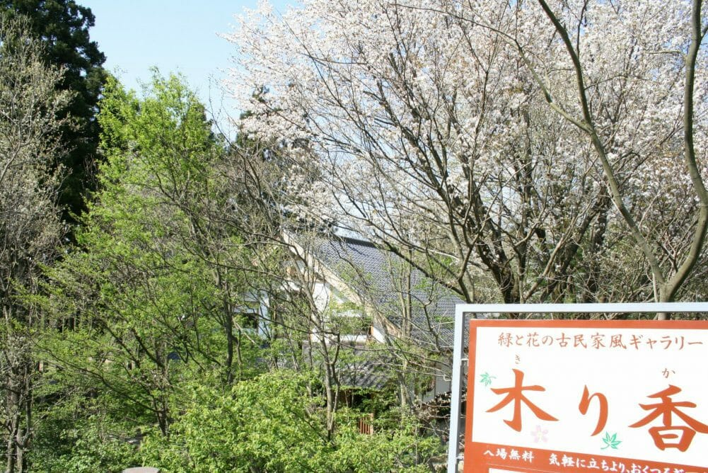木り香と山桜