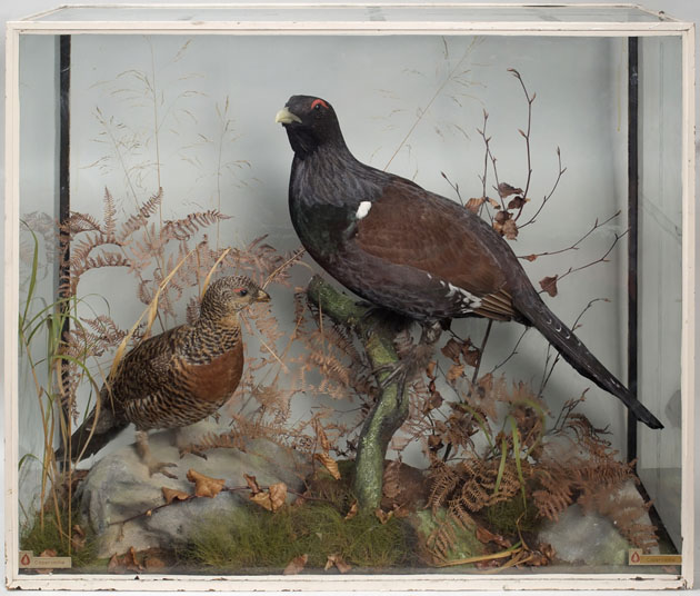Capercaillie (Glasgow Museums' collection)