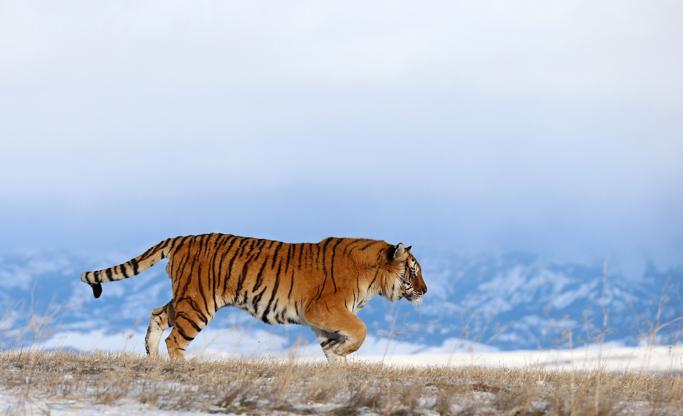 Tiger's way