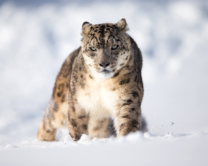 snow and leopard
