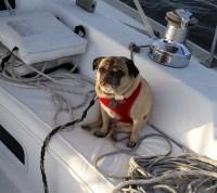 pugs on sailboats