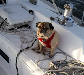 pugs on sailboats