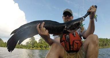 This 31' northern snakehead was caught by Zach Ditmars on August 5, 2018 at Blackwater National Wildlife Refuge, just south of Cambridge, MD.